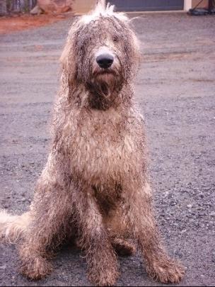 Haggis, dirty dog